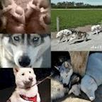 Husky Rescue NZ's avatar