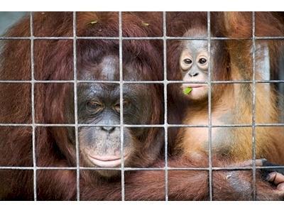 Help save the Borneo orangutans - Givealittle