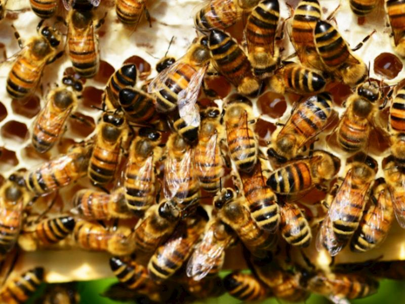 Auckland Bees - help the bee population - Givealittle