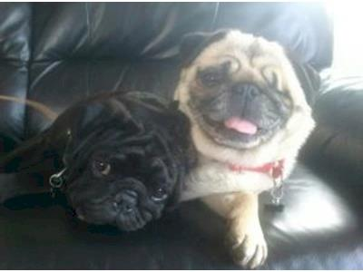 New Zealand Pug Rescue Givealittle