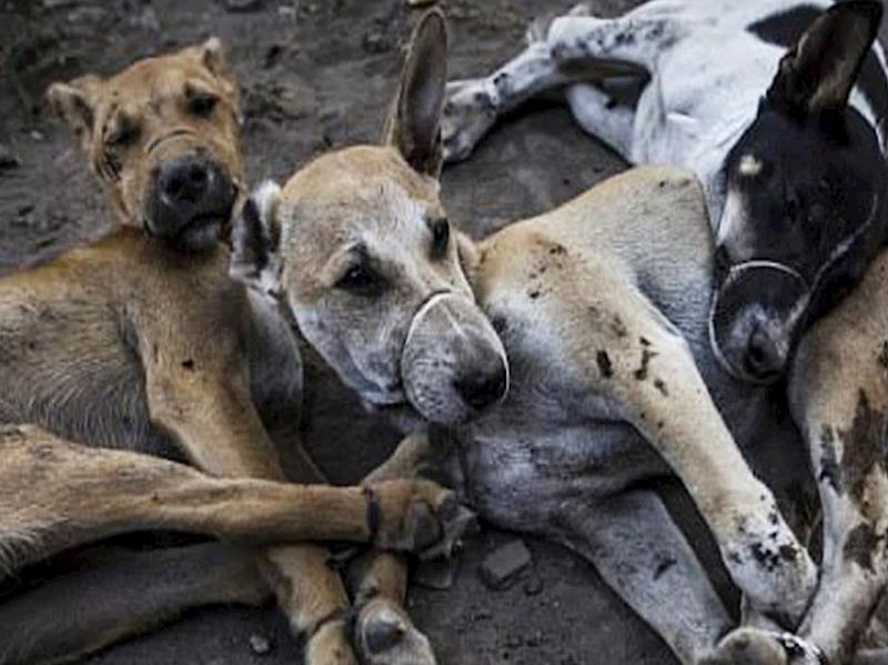 Bali Dog Rescue Volunteer
